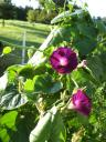 Grandpa Otts tangle of vines two blooms2