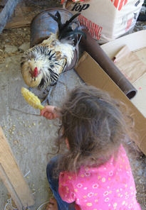 Deirdre feeding Ooster old corn that was in the refrigerator for too long